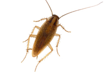 german_cockroach